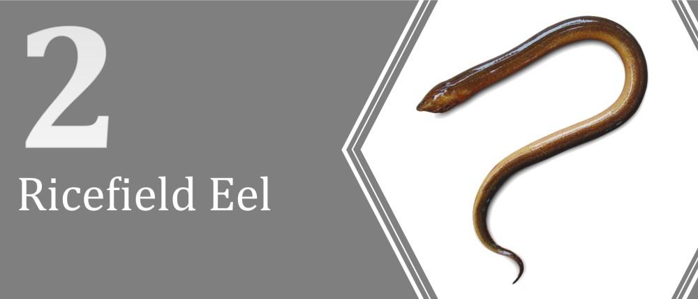 2 (Ricefield Eel)