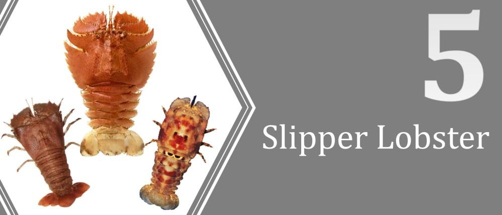 5 (Slipper Lobster)