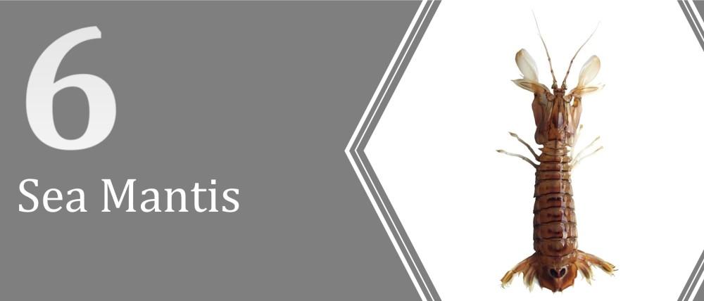 6 (Sea Mantis)